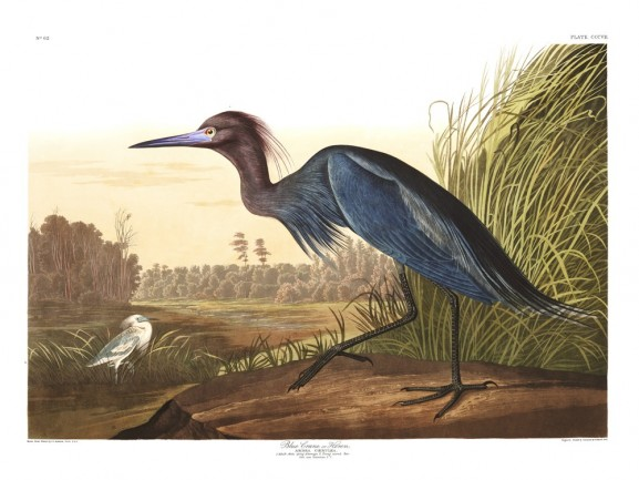 Blue Crane, or Heron