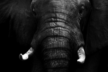 Elephant Black & White II
