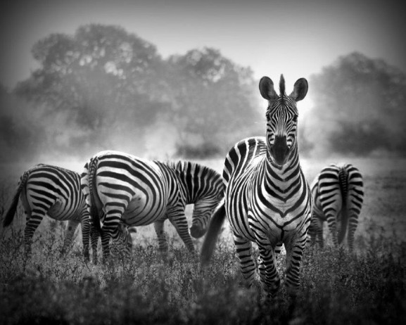 Zebra Black & White