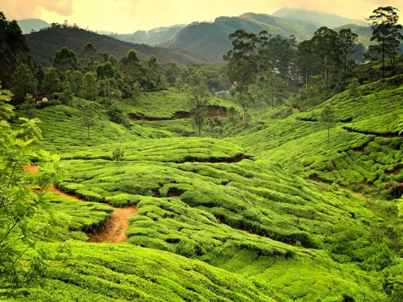 Kerala - Tea Plantations