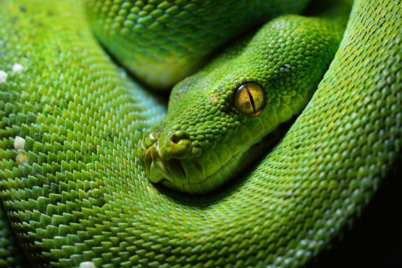 The Green Tree Python