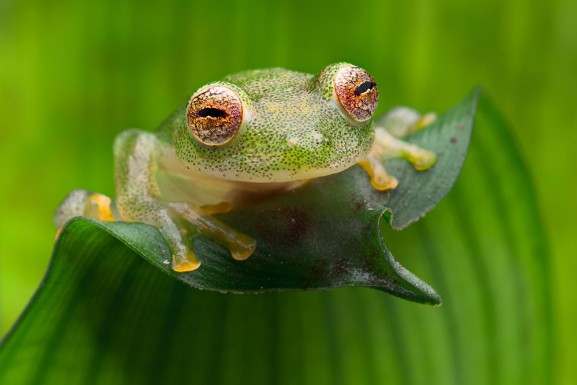 Tropical Glass Frog