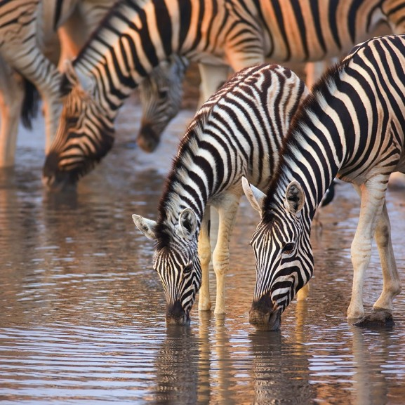 Zebra's Drinking
