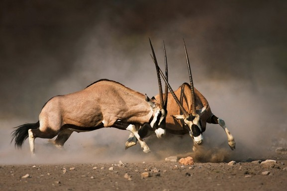 Gemsbok Fighting