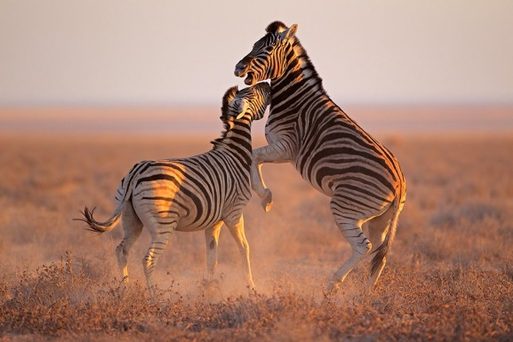 Fighting Zebra's