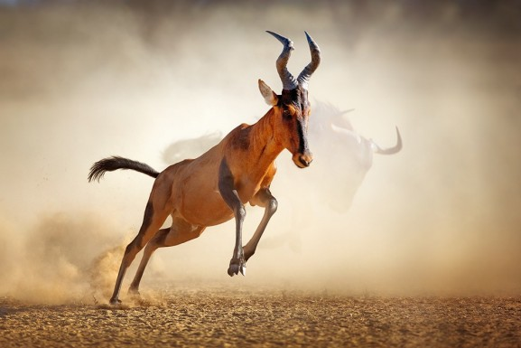 The Hartebeest